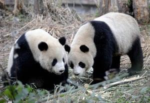 Gallery Panda peace offering: china pandas Tuan Tuan and Yuan Yuan