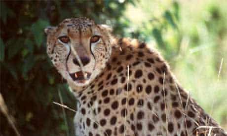 A cheetah in the Masai Mara, Kenya