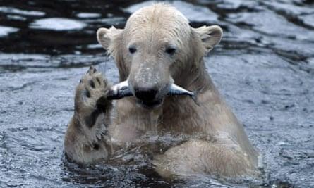 polar bear knut 2nd birthday eating fish