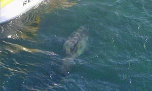 Channel Seven screengrab of shark believed to have attacked Brian Guest near Perth