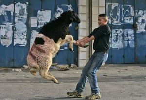 Gallery Eid al-Adha: Sheep dragged to slaughter
