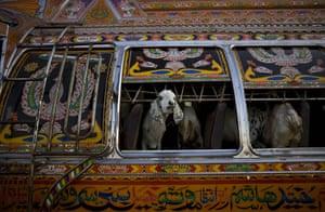 Gallery Eid al-Adha: Sheep are seen inside a bus