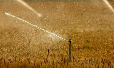 water crisis, california, drought, wheat crops