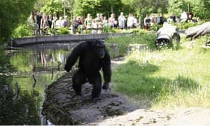 chimp Santino සඳහා පින්තුර ප්රතිඵල