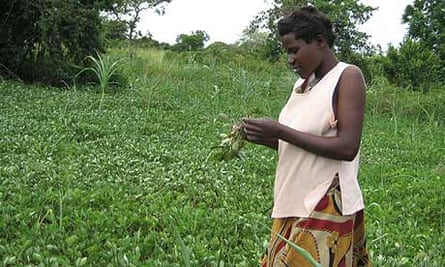 Katine farmer Judith Obote, Milton Obote's wife, in her garden checking whether her groundnuts have started maturing