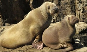 Pacific walruses sit on the rocks at New York Aquarium in 2008