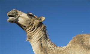 Camel calling