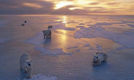 Polar Bears on Ice Pack at Sunset