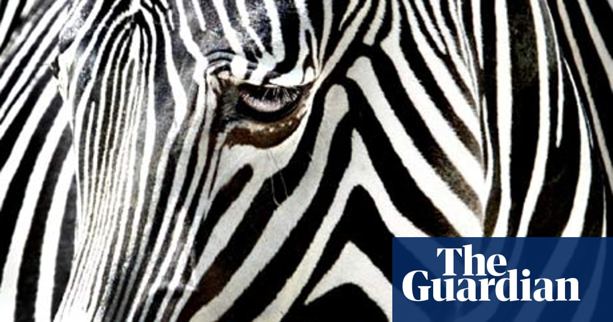 How did the zebra get his stripes?   Environment   The Guardian