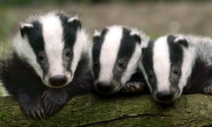 Badger cubs in the Westcountry
