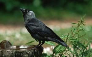 Gallery Big Garden Birdwatch: Jackdaw Perches on Bird-bath
