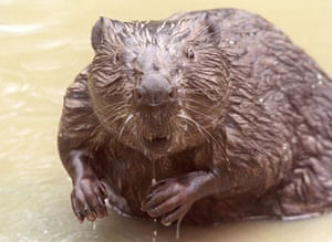Gallery Reintroducing wildlife: BEAVERS ARE RELEASED BACK INTO THE WILD