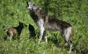 Gallery Reintroducing wildlife: Mother Grey Wolf Howling