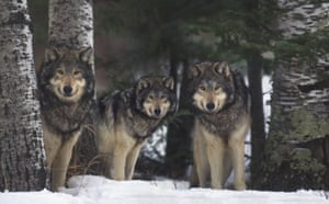 Gallery Reintroducing wildlife: Gray Wolves in Forest