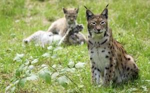 Gallery Reintroducing wildlife: Eurasian lynx
