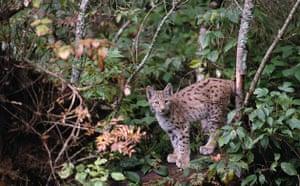 Gallery Reintroducing wildlife: Captive Lynx in Bavarian Forest National Park