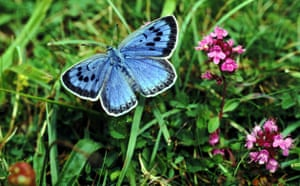 Gallery wildlife reintroduction : Large blue butterfly