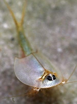 Gallery Rare pond species: A Tadpole shrimp