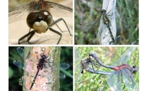 Gallery Rare pond species: White-faced darter dragonfly
