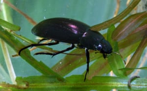 Gallery Rare pond species: Lesser Silver water beetle