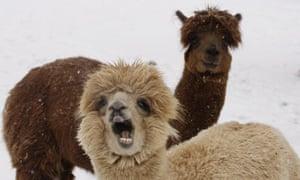 Week in Willdlife : Alpacas enjoy Washington's first snow of the year