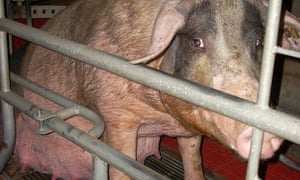 A pregnant pig in a sow stall