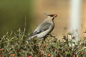 Gallery RSPB: A waxwing