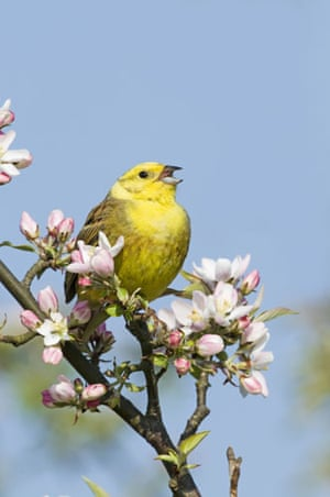 Gallery RSPB: A yellowhammer