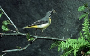 Gallery RSPB: A grey wagtail