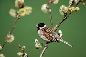 Gallery RSPB: A reed bunting