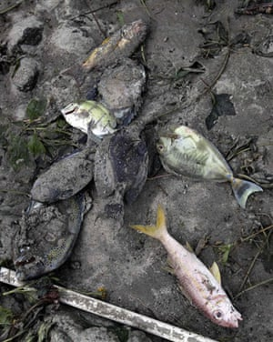 Samoa: Dead fish lie in the mud at Maninoa Siumu