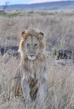 week in wildlife: a male lion is seen in Masai Mara National Park in Kenya