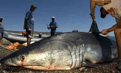 A female mako shark being finned