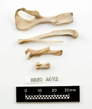 Mary Rose : Rat bones found aboard the Mary Rose wreckage