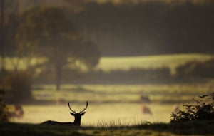 Autumn: A deer forgages for food at Dunham Massey