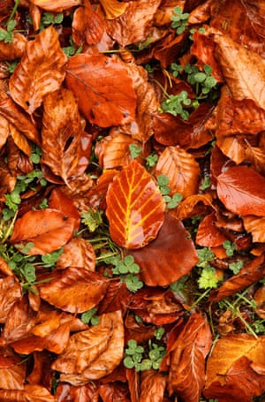 Autumn: Fallen beech leaves display autumn colours in Wendover Woods