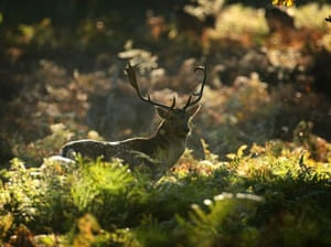 Autumn: A deer forgages for food at Dunham Massey, Altrincham, England