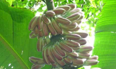 Kew's millennium seed bank in China : Musa itinerans (Yunnan banana, wild forest banana)