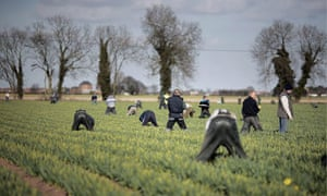 Workers pick daffodils in Lincolnshire.