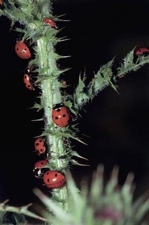Ladybird: Seven Spot Ladybirds on a stem (Coccinella septempunctata)