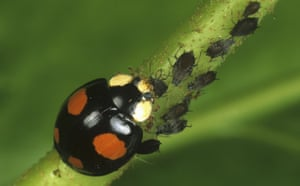Ladybird: Harlequin Ladybird