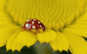 Ladybird: Cream Spot Ladybird