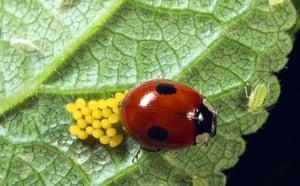 Ladybird: Two spot ladybird