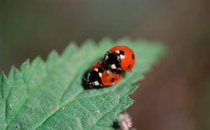 Ladybird: Two Ladybugs Mating