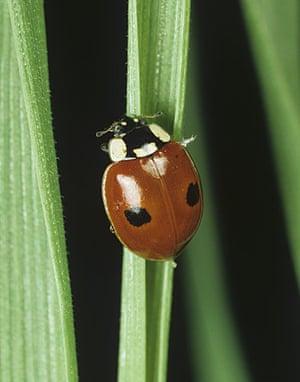 Ladybird: Two-Spot Ladybird Beetle