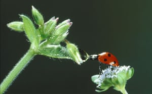 Ladybird: Ladybird on a flower