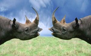 Decade Extinct Species: Black Rhino