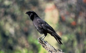 Decade Extinct Species: Hawaiian Crow