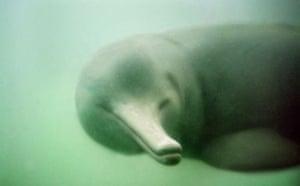 Decade Extinct Species: Baiji