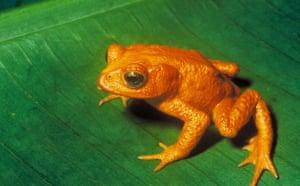 Decade Extinct Species: Golden Toad